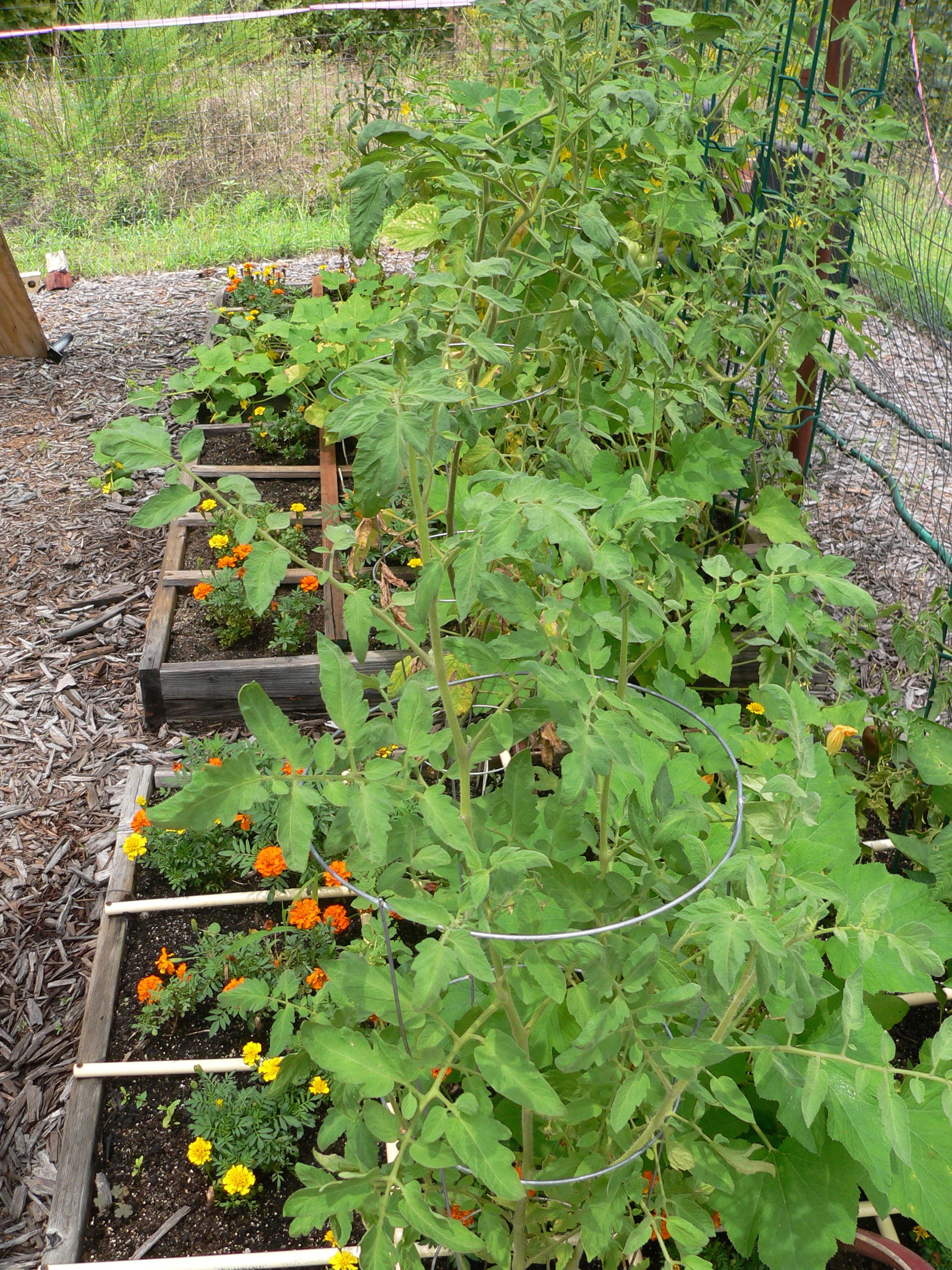 This Is The North Side Of The Garden With The Regular Square Foot Garden  Squares. Iu0027m Growing Tomatoes, Cucumbers, Squash, Bell Peppers, And Some  Melons At ...