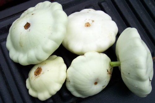scallop squash-sites.google.com