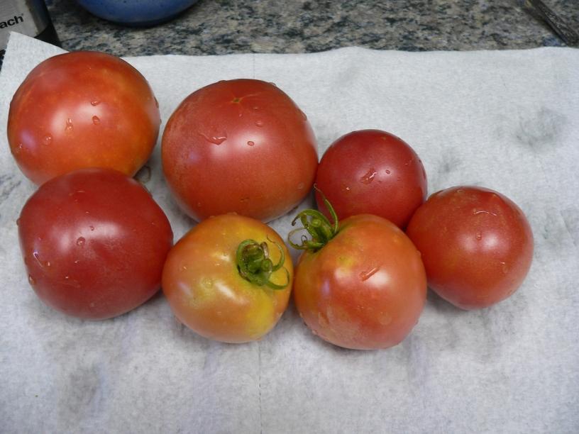 tomatoharvest20160724