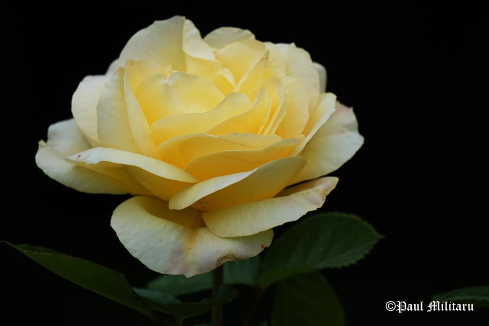 """Yellow Rose 1"" - Paul Militaru Photography"
