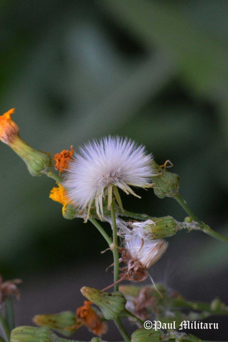 """Dandelion 2"" - Paul Militaru Photography"