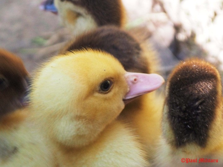 """Profile Star - Yellow Baby Duck"" - Paul Militaru Photography"