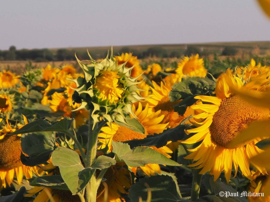 """Sunflower"" - Paul Militaru Photography"