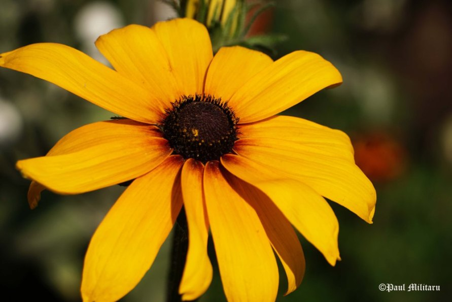 """Yellow Gazania""- Paul Militaru Photography"