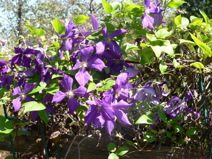 f-clematis2