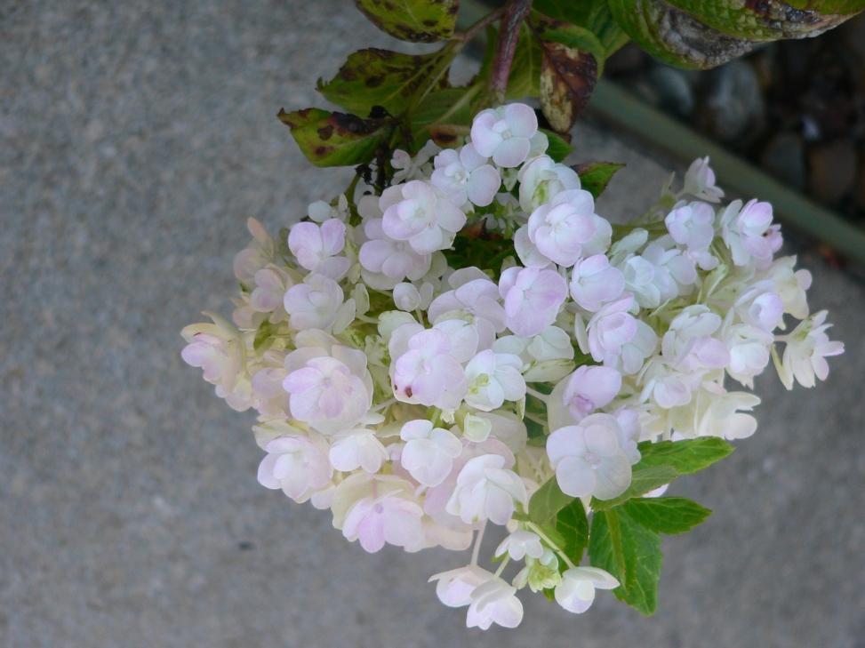 f-whitehydrangea