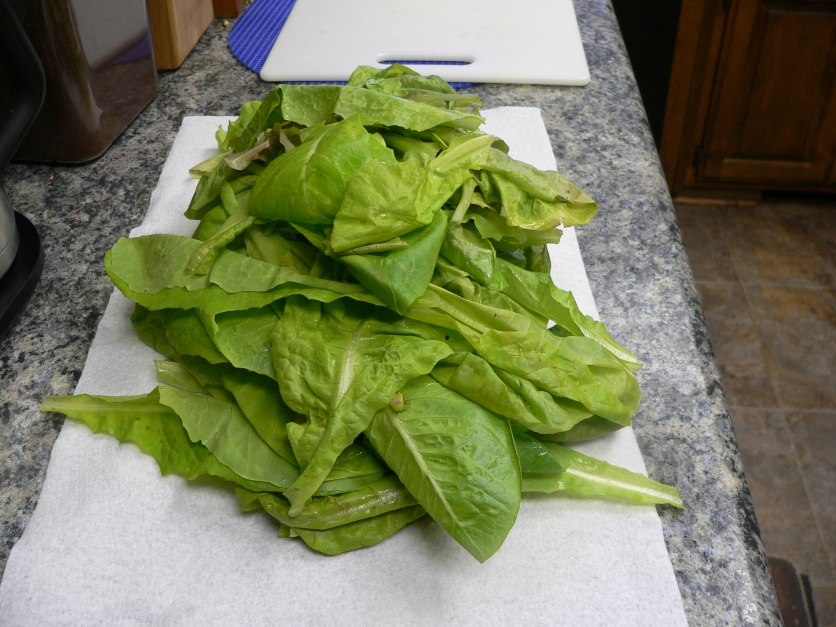lettuceharvest09262016_1