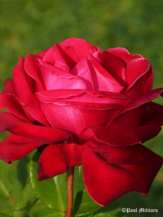 paul-red-beauty