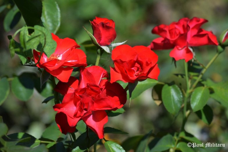 wow-wild-red-roses-paul