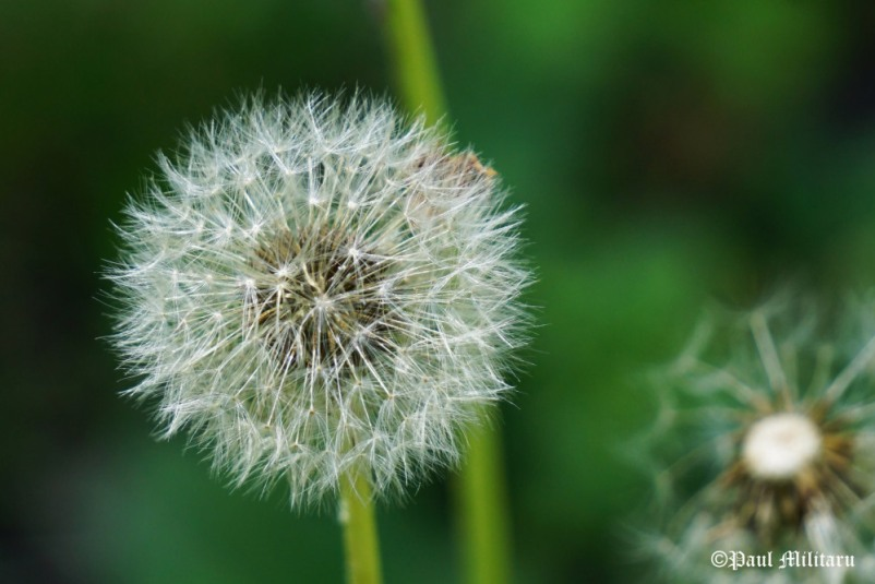 """Dandelion Fluff"" - Paul Militaru Photography"