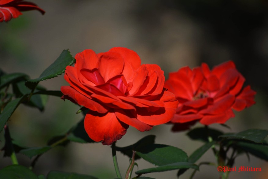 paul-passionate-love-red-rose