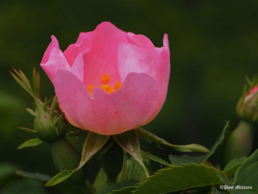 paul-rose-beauty1