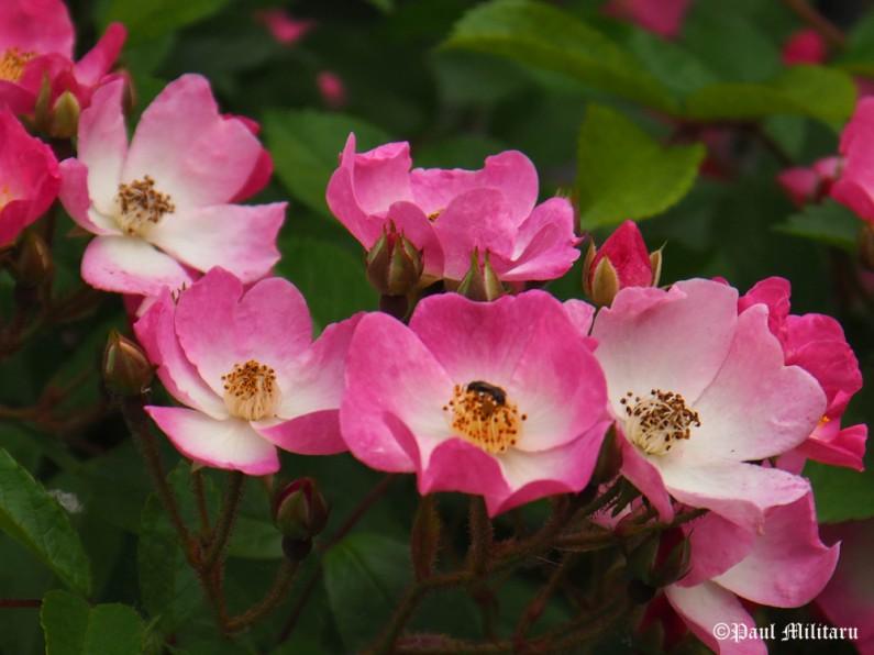 paul-wild-roses