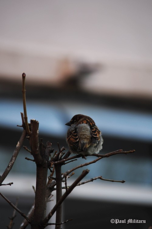 """Bored Sparrow"" - Paul Militaru Photography"