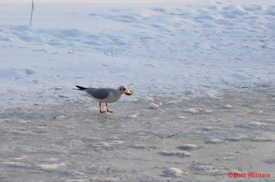 paul-seagull