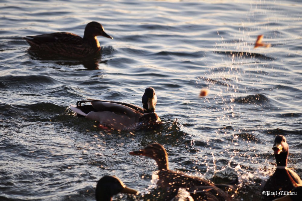 """Ducks"" - Paul Militaru Photography"