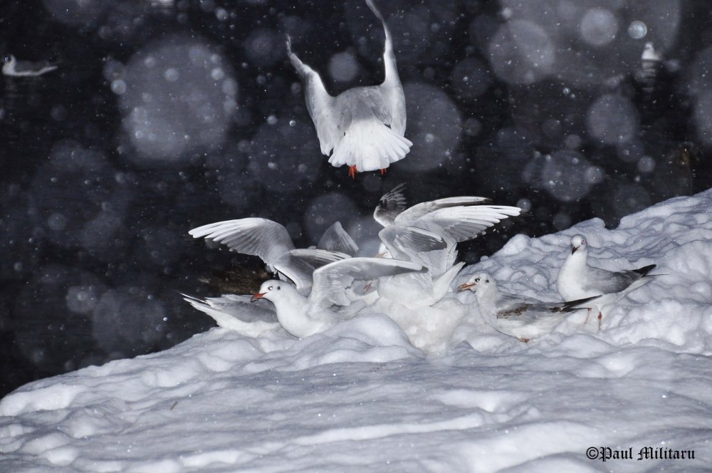 """Gulls in the Snow"" - Paul Militaru Photography"