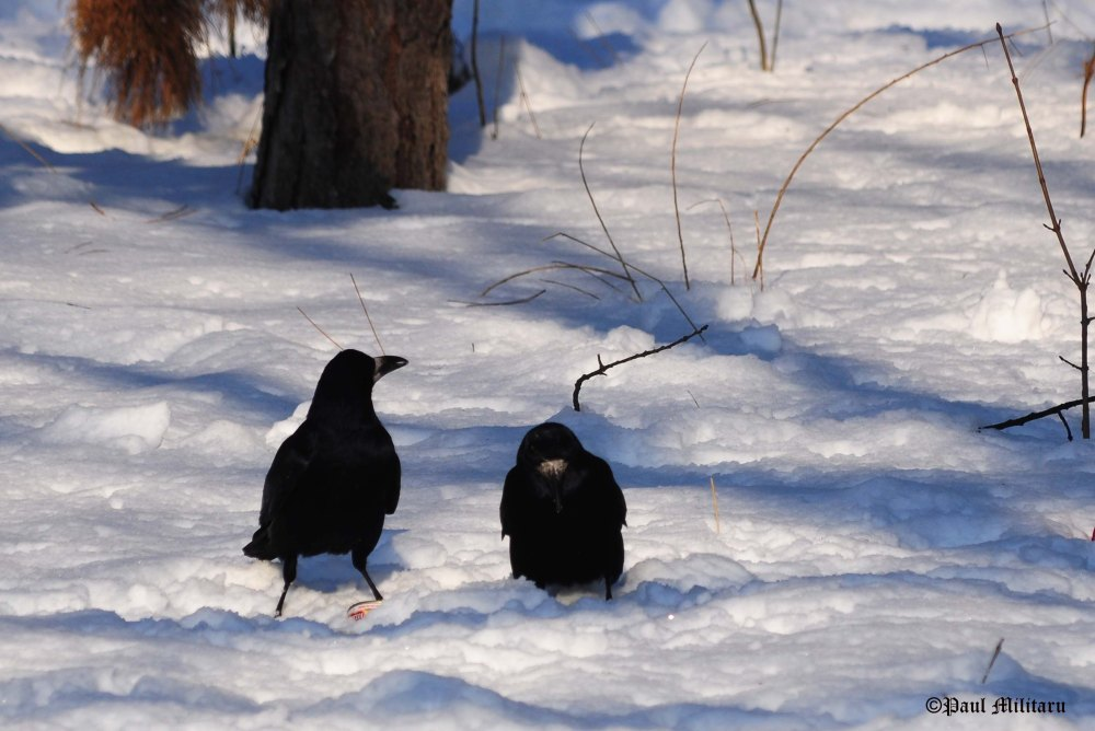 """Heated Discussion Between Two Crows in the Snow"" - Paul Militaru Photography"