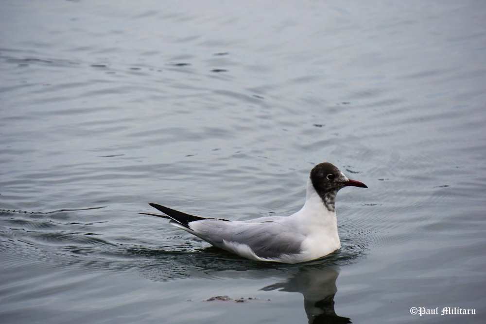 """Seagull"" - Paul Militaru Photography"