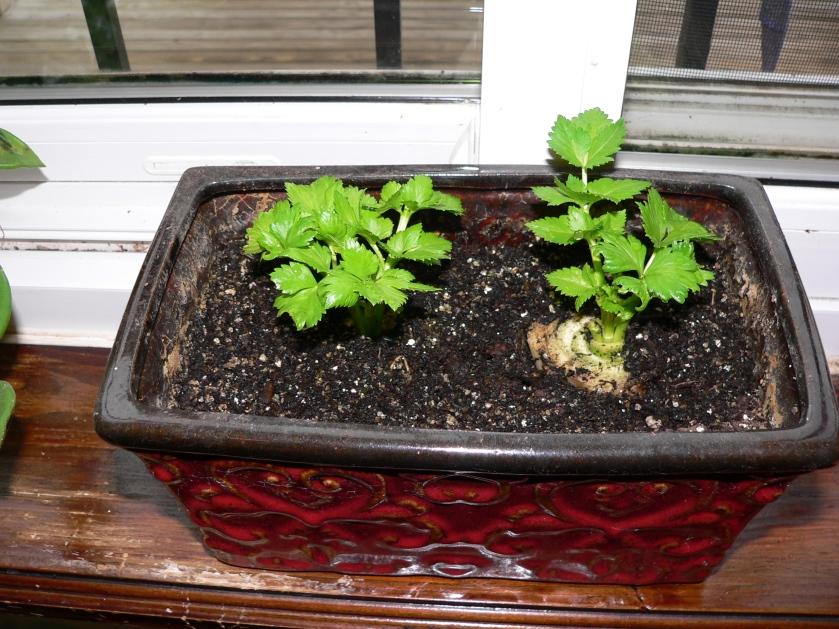 celeryplants1