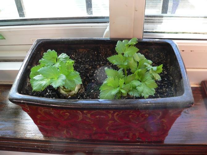celeryplants2