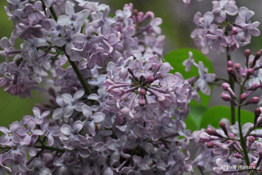 """Purple Lilac"" - Paul Militaru Photography"
