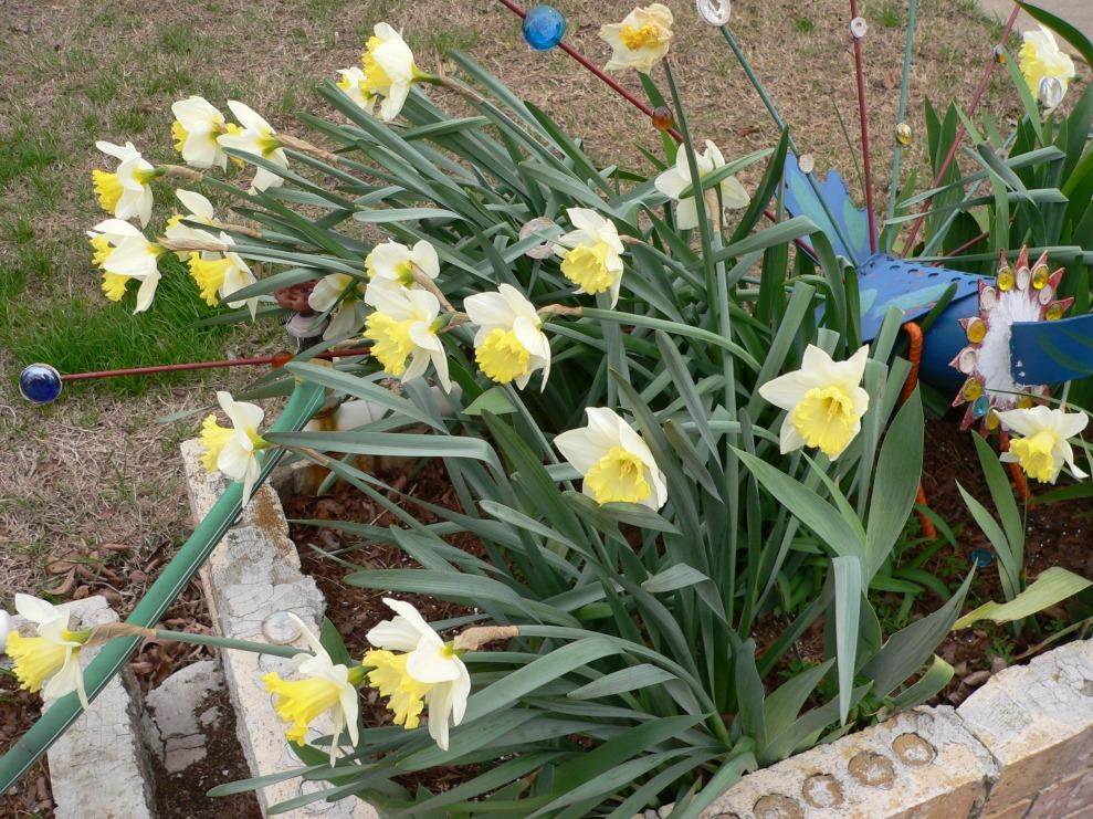 sp-daffodils