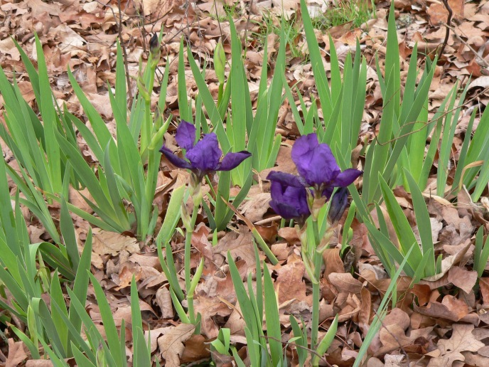 sp-iris2