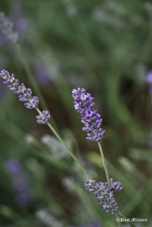 """Lavender"" - Paul Militaru Photography"
