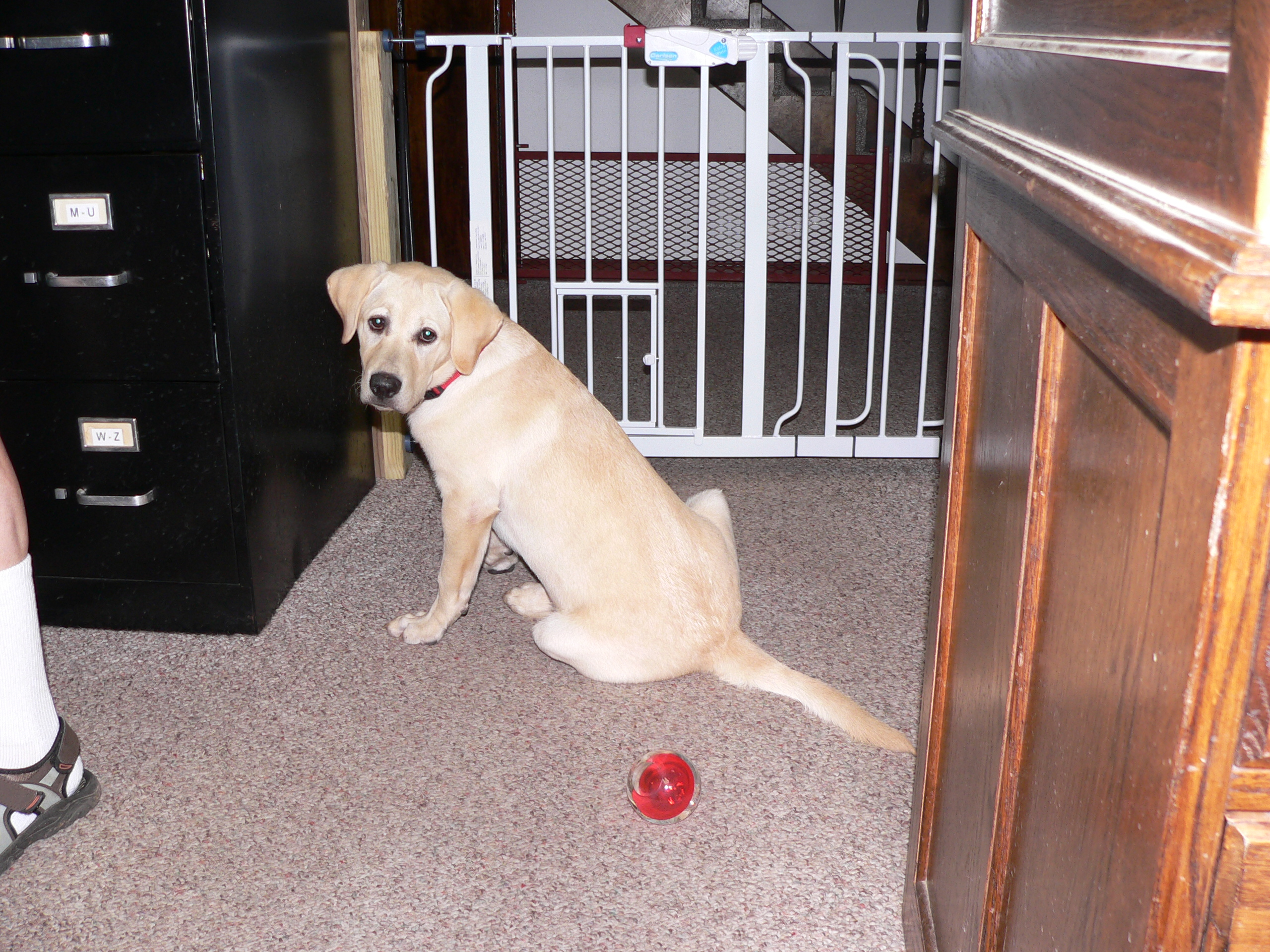 ting other pets to accept a bouncing lab puppy