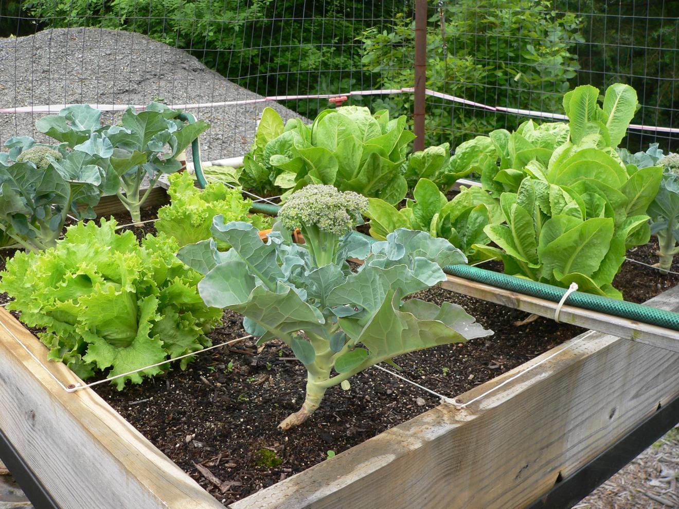 Arkansas Raised Bed Gardening